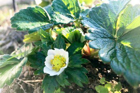 イチゴの花が!